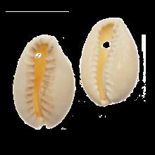 Kauri Schelpjes (20 - 23 mm) Seashell (25 gram / ca. 16 stuks)